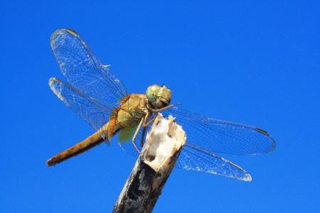 carboniferous: Dragonfly