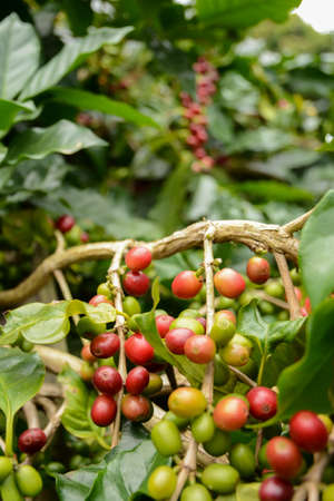 making coffee: Coffee beans ripen on the tree waiting to reap the productivity of people to lead the process of making coffee we drink it anyway.