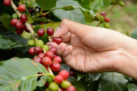 arbol de cafe: Los granos de caf� maduran en el �rbol esperando a cosechar la productividad de las personas para dirigir el proceso de hacer el caf� que bebemos todos modos. Foto de archivo