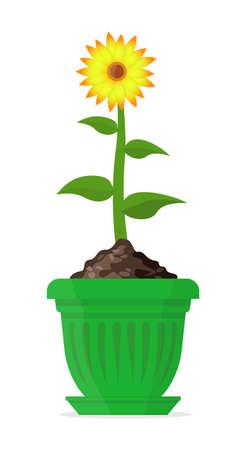 Ripe sunflower in a large green pot. Vector Illustration. Ilustração
