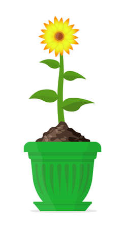Ripe sunflower in a large green pot. Vector Illustration. Illustration