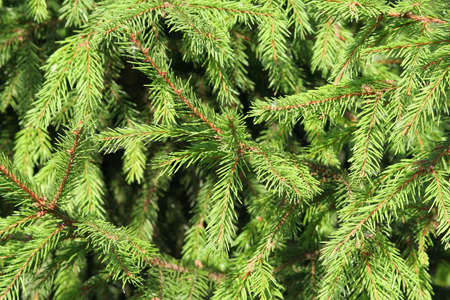 Background of the thick and prickly fir branches. Texture Stock Photo - 7709798