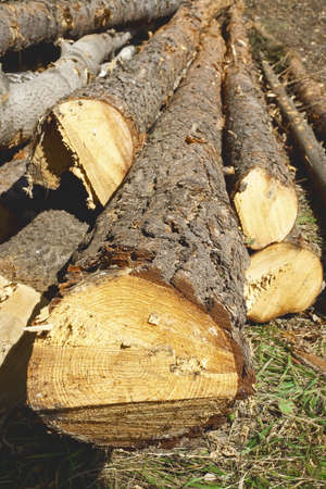 felled: Felled and folded, pine and birch tree trunks