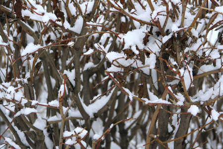 The branches of a bush, covered with snow  Background, texture photo