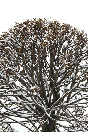 Crown of the tree covered with snow  Background, texture, abstraction photo