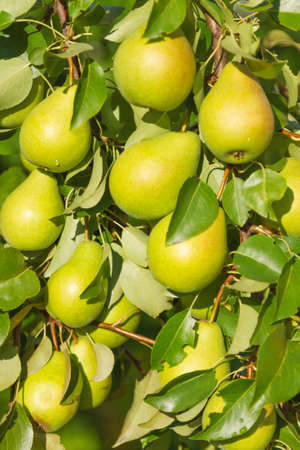 food plant: Growing fruit on the branch Pears. Texture, background, closeup