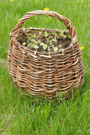 Wicker basket with young plants, standing on the lawn