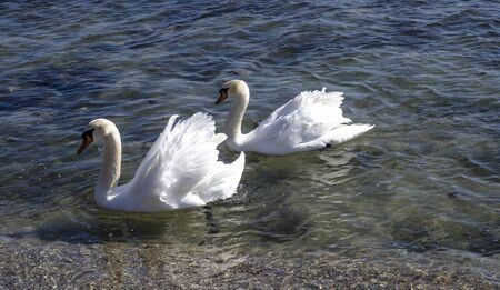Migrating White Swans On the BlacThe swans come from northern Europe, where the weather gets cold earlier. They enjoy the attention of the residents from Varna, Bulgaria who feed them.k Sea In Varna,  写真素材