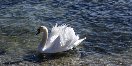 Migrating White Swans On the BlaThe swans come from northern Europe, where the weather gets cold earlier. They enjoy the attention of the residents from Varna, Bulgaria who feed them.ck Sea In Varna,