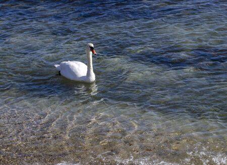 Migrating White Swans On the Black Sea In The swans come from northern Europe, where the weather gets cold earlier. They enjoy the attention of the residents from Varna, Bulgaria who feed them.Varna, Bulgaria Stock Photo