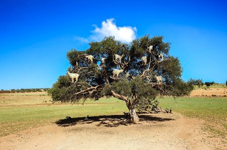 Goats In the Tree at Essouria Morocco Stock fotó