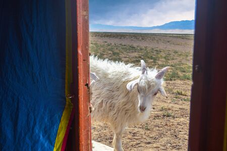 Friendly Goat Belonging to Nomads Peering into Ger. Besides their livestock, the Nomads have a working tourist site. Stock Photo