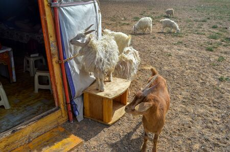 Curious Goats Checking Out Our Ger Quarters. Mongolian Nomads own camels, goats and horses.