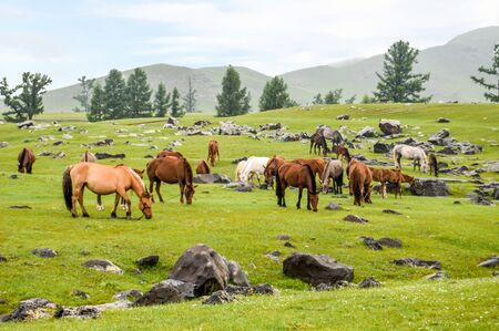 Grazing Horses and Lava Rocks are everywhere in the Orkhon Waterfall Area.