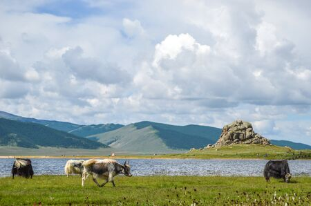 Mongolian yaks grazing around the White Lake in Central Mongolia. The Khorgo volcano is located near the eastern end of the lake.