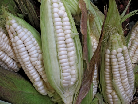 Ripe peruvian corn Stock Photo - 11172107
