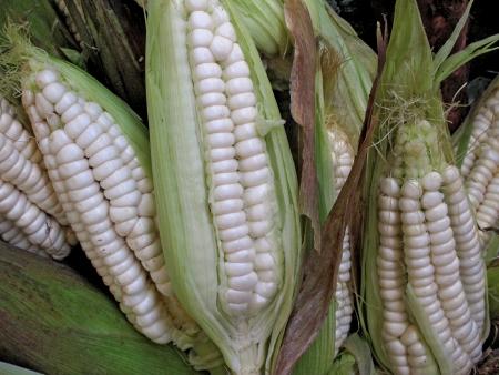 Ripe peruvian corn Stock Photo - 11172107