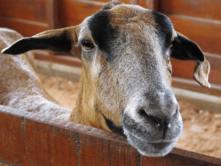 Closeup of a goat on a farm, full of details photo