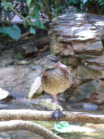 crested duck: Duck stand in one leg Stock Photo