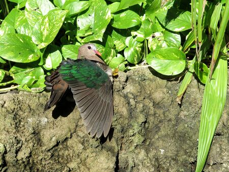 south east asia: green-winged dove is a bird of south east asia