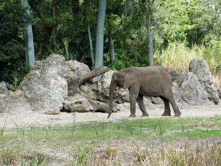 africana: African elephant (Loxodonta africana) Stock Photo