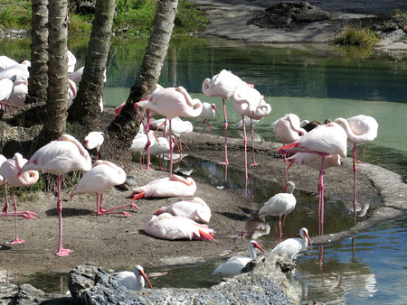kindred: Group of Flamingos Stock Photo