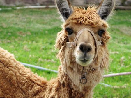 Close-up of llama, Sacred Valley, Machu Picchu, Cuzco, Peru