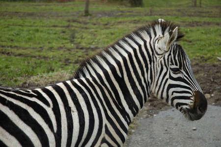 zebra in cabarceno park in cantabria spain