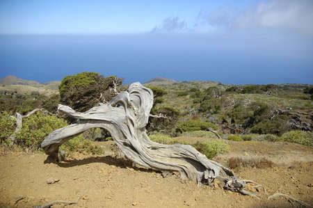 Juniperus phoenicea in El Hierro Island Canary Spain