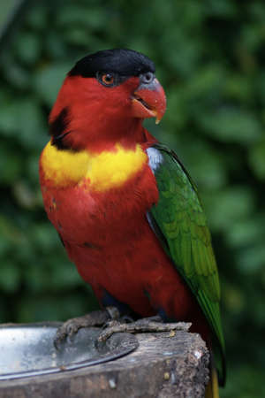 psittacidae: Lorius Chlorocercus is a Parrot that live in Guinea and Salomon Island