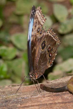 americal: Caligo Spp owl butterfly idomeneus in butterfly park empuriabrava Stock Photo