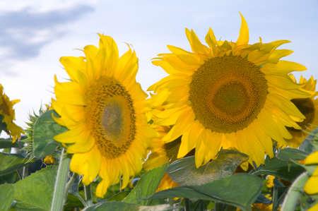 Sunflowers in a field in Vilabertran Girona Spain Stock Photo