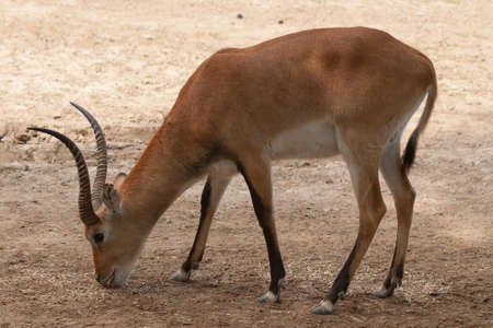 Kobus leche is a african mammal antelope