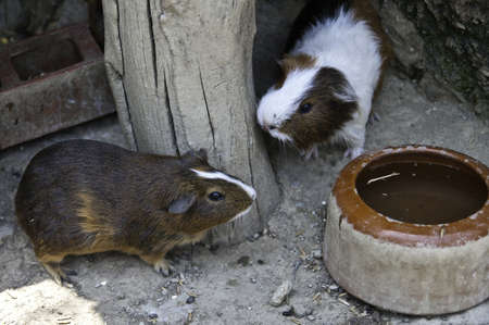 Cavia porcellus is a little rodent guinea pig