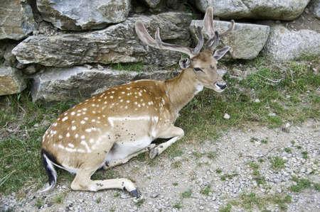 Cervus Elaphus is a wild mammal
