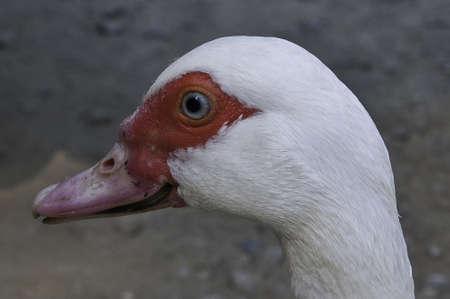 Goose in a Mollo Parc in catalunya spain