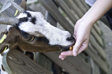hircus: Capra aegagrus hircus is a subspecies of goat domesticated from the wild goat