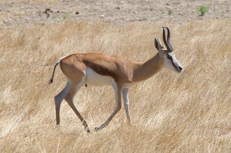 springbok: Antidorcas marsupialis or springbok in its habitat