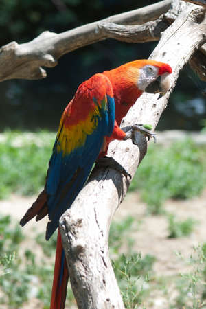 psittacidae: Psittacidae is a common parrot bird in a branch