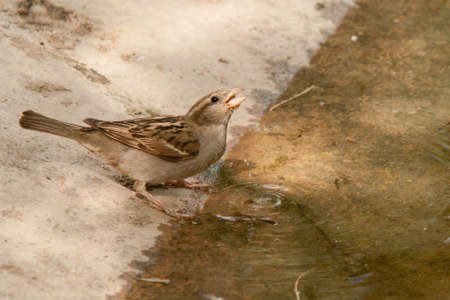 passer    by: Passer domesticus drinking water in a river