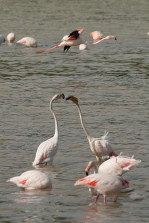 phoenicopterus: Phoenicopterus is a big water bird with a long neck