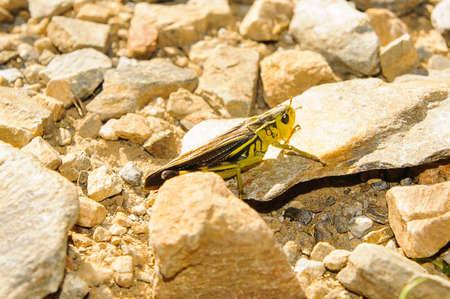 caelifera: Caelifera is a typical grashopper in Europe