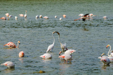 Phoenicopterus is a big water bird with a long neck