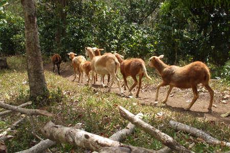 flock: Small Flock Of Pelibuey Sheep