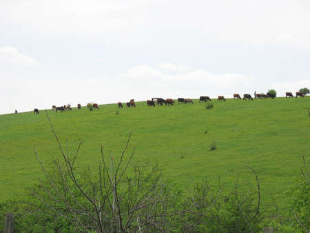 Cows grazing on a green pasture in rural landscape Stock Photo - 2970393