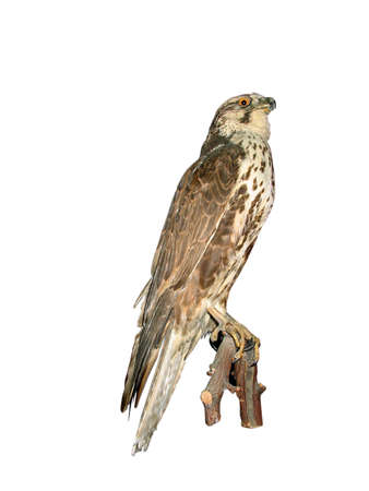 falconry: Falcon sitting on wood bark isolated over white background