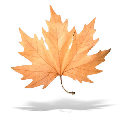yellow autumn tree leave with shadow isolated over white background Stock Photo - 3687956