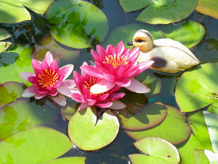 Beautiful blooming red water lily lotus flower with green leaves in the pond photo