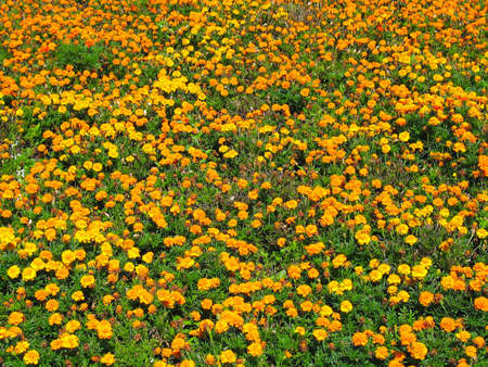 Yellow flower carpet on a green meadow Stock Photo - 5637665