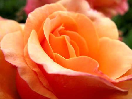 Beautiful rose  fresh petails bloom macro closeup photo